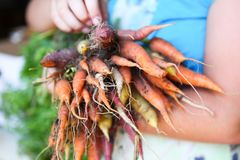 Rainbow Carrots. Image of colorful carrots from the garden Royalty Free Stock Photo