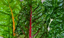 RAINBOW CHARD BOUQUET. Fresh, washed greens in a colorful, variety and ready to eat Stock Image