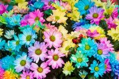 Rainbow color of Chrysanthemum flowers Royalty Free Stock Photo