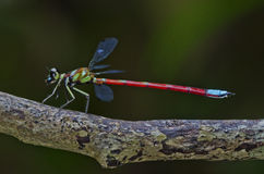 Rainbow color damselfly. Colorful damselfly in the parks Royalty Free Stock Photo