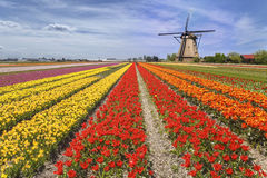 Rainbow Color Tulip Farm Stock Photos