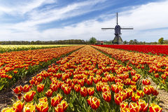 Free Rainbow Color Tulip Farm Royalty Free Stock Photo - 59681705