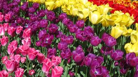 Rainbow color tulips royalty free stock images