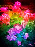 Rainbow Colored Roses in the Garden Stock Photo