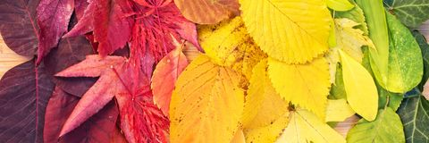 Rainbow of colorful autumnal leaves. Panorama royalty free stock photography