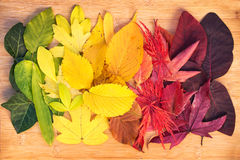 Rainbow of colorful autumnal leaves Stock Photography