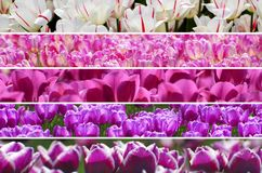 Rainbow colors tulips collage. Beautiful rainbow colors of tulip`s field collage from white to purple royalty free stock images