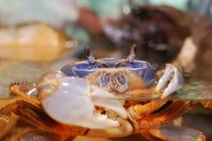 Rainbow crab. Cardisoma armatum in aquarium Stock Photos