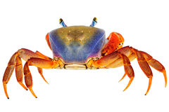 Rainbow Crab Royalty Free Stock Images