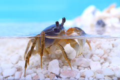 Rainbow crab Royalty Free Stock Image