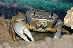 Rainbow Crab Royalty Free Stock Photos