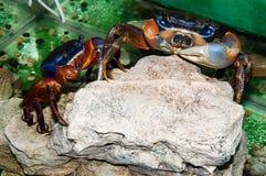 Rainbow crab or Cardisoma armatum Royalty Free Stock Image