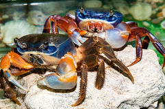 Rainbow crab or Cardisoma armatum Stock Photos