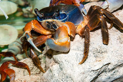 Rainbow crab or Cardisoma armatum Stock Images
