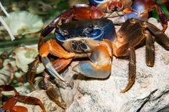Rainbow crab or Cardisoma armatum. In the Aquarium Stock Photos