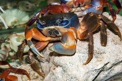 Rainbow crab or Cardisoma armatum Stock Photo
