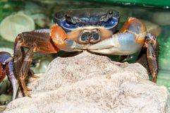 Rainbow crab or Cardisoma armatum Stock Image