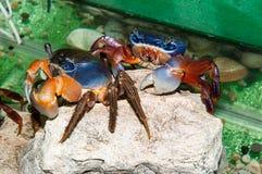 Rainbow crab or Cardisoma armatum Stock Photography