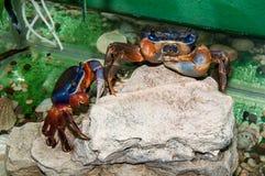Rainbow crab or Cardisoma armatum Royalty Free Stock Photography