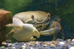 Rainbow crab Stock Photography