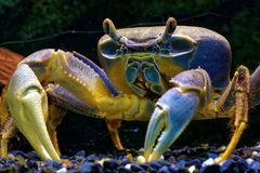Rainbow crab Stock Photos