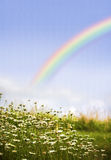 Rainbow and Daisies. Rainbow in the field of daises, perfect background Stock Photos