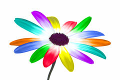 Rainbow daisy Stock Photography