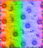 Rainbow daisy frame Stock Photos