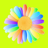 Rainbow daisy. Stock Photos