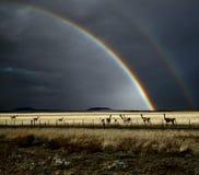 Rainbow e Guanacos Fotografia Stock