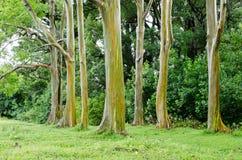 Rainbow Eucalyptus. Trees in Maui Royalty Free Stock Photography