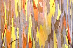 Rainbow eucalyptus. background. Royalty Free Stock Photos