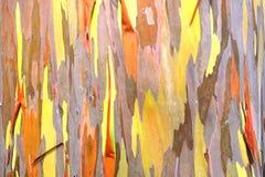 Rainbow eucalyptus. background. Royalty Free Stock Photos