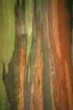 Rainbow Eucalyptus bark, Arenal Volcano National Park, Costa Rica Stock Images