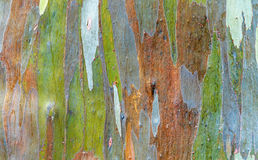 Rainbow Eucalyptus. Colorful bark of the rainbow Eucalyptus (Eucalyptus deglupta Stock Images