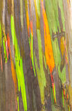 Rainbow Eucalyptus Royalty Free Stock Photography