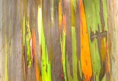 Rainbow Eucalyptus Royalty Free Stock Photo