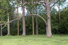 Rainbow Eucalyptus Grove Royalty Free Stock Photos