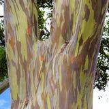 Rainbow eucalyptus in Hawaii islands stock image