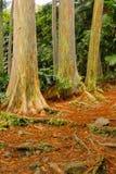 Rainbow Eucalyptus, Maui Royalty Free Stock Images