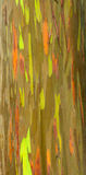Rainbow eucalyptus tree. The macro view of a rainbow eucalyptus tree has all the wow factor needed for a great image. The colors are bright and happy, just like stock images
