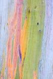 Rainbow eucalyptus tree. Close-up of the bark of a colorful rainbow eucalyptus tree (Eucalyptus  deglupta Royalty Free Stock Image