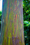 Rainbow Eucalyptus Tree. A Rainbow Eucalyptus tree along the road to Hana in Maui, Hawaii Stock Images