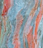 Rainbow eucalyptus tree bark Stock Images
