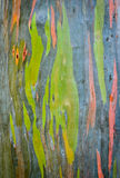 Rainbow eucalyptus tree bark Royalty Free Stock Photography