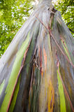 Rainbow Eucalyptus Tree Stock Photo
