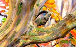 Rainbow Eucalyptus tree Royalty Free Stock Photography