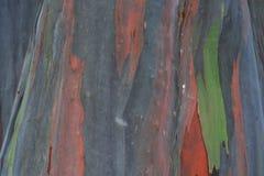 Rainbow Eucalyptus Tree. Eucalyptus deglupta is a tall tree, commonly known as the rainbow eucalyptus, Mindanao gum, or rainbow gum Royalty Free Stock Images