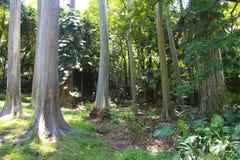 Rainbow eucalyptus tree in hawaii Royalty Free Stock Photo