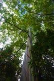 Rainbow Eucalyptus Tree Stock Photo